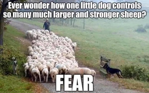 sheep controlled by fear